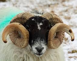 A blackface ram. Not THE blackface ram, though.