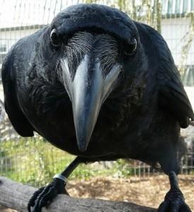 angry-crow-2