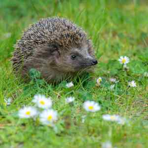 Hedgehog meadow